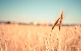 wheat 800x600